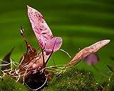 Gärtnerei - Garnelio Roter Tigerlotus, Nymphaea Lotus rubra - Rote Aquarium Pflanze/Wasserpflanze Fürs Garnelenaquarium, Art:Ausgetriebene Knolle