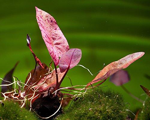 Gärtnerei - Garnelio Roter Tigerlotus, Nymphaea Lotus rubra - ROTE Aquarium Pflanze/Wasserpflanze fürs Garnelenaquarium, Art:Ablegerpflanze