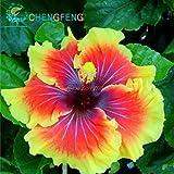 200 Samen Hibiskus versch. Farben oder Mischpackung (Orange-Gelb)