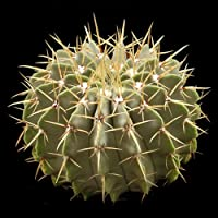 Notocactus buiningii seeds
