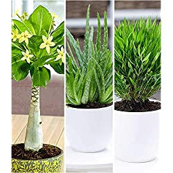 """BALDUR-Garten Zimmerpflanzen-Mix""""Exotisch"""", 3 Pflanzen je 1 Pflanze Hawaii-Palme, Aloe Vera und Zimmerbambus"""