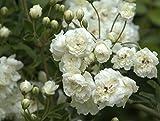 #5: Nelesa Gardening Live Miniature White Rose Plant