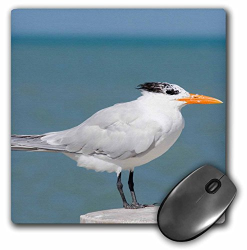 danita-delimont-cindy-miller-hopkins-birds-belize-caribbean-sea-belize-city-wild-royal-tern-on-pier-