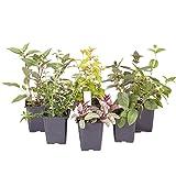 Robuste Fuchsia-Kollektion, 6Pflanzen in 9-cm-Töpfen