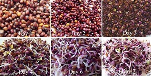 Graines Radis Sprout Red Rambo Cultivez Toute l'année, 10 jours Microgreens, Salade verte (1 graines de pack oz)