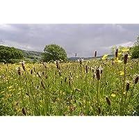 Portal Cool Británico de flores silvestres de Plantago Ribwort Plátano - 50G Seed - paquetes a granel
