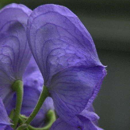 Eisenhut; Aconitum carmichaelii 'Arendsii'
