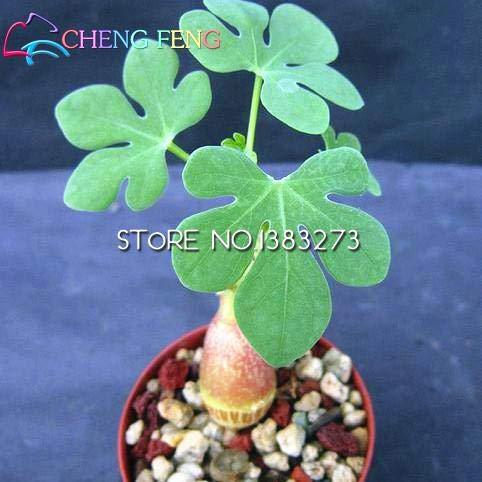 Shopmeeko Rarest 100pcs Jatropha pflanzt eine hohe Überlebensrate von Bäumen gepflanzten Gartenhof Freies Verschiffen: Grün