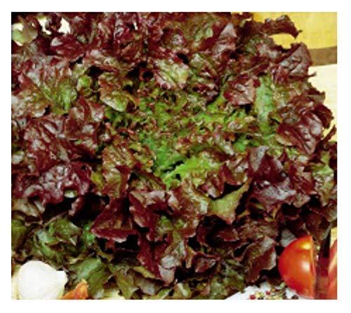 3000x Pflücksalat Red Salad Bowl Gemüsesamen Garten Samen Saatgut Frisch K276 Red Salad Bowl