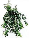 AESCHYNANTHUS VARIEGATO BASKET, pianta vera