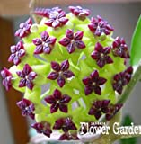 Big Hoya Seeds,Potted Flowers Bonsai plants Hoya Seed, Orchid Seed DIY Home Garden 100 Particles/Pack,#4FNNI6 4