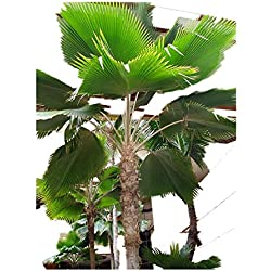 Fiji Fan Palm -Fiji-Palme- 10 Samen (Art Fächerpalme) Rar -Pritchardia thurstonii-