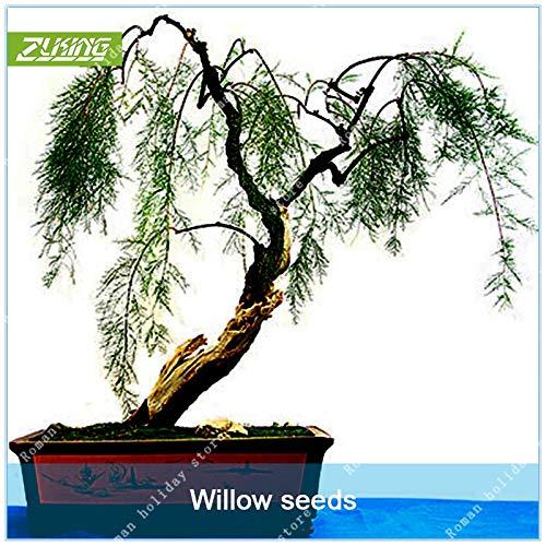 Bonsai-willow Tree (Pinkdose ZLKING 20 stücke Willow Tree Pflanze Bonsai Hardy Exotische Arten Schnell Wachsende Gartenpflanzen Mehrjährige Immergrüne Pflanzen)