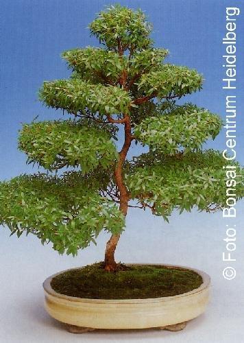 Tropica – Bonsai – Echte Myrte – weiß (Myrtus communis) – 30 Samen