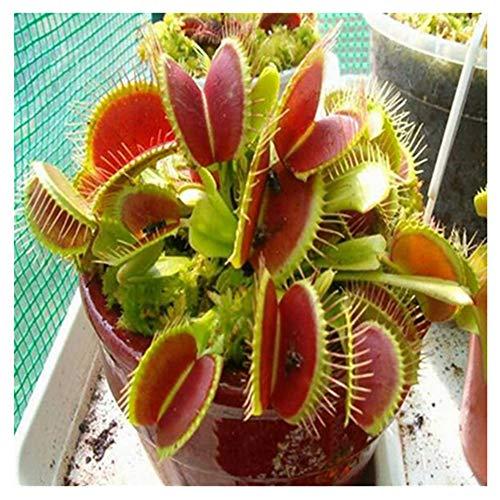10 Stücke Sonnentau Samen Drosera Fleischfressende Blume Indoor Bonsai Venus Fliegenfalle Insektenfressende Pflanzen Samen Gartentopf -