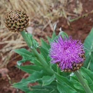 Stemmacantha Carthamoides Seeds