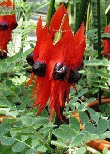 TROPICA - Papageischnabel / Teufelskopf (Clianthus formosus syn. Swaisonia formosus) - 20 Samen