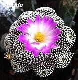 100 Stück Echte Kakteensamen, Mini-Kaktus, Feigenkaktus, japanische Succulents Bonsai Blumensamen, Topfpflanze für Hausgarten 2