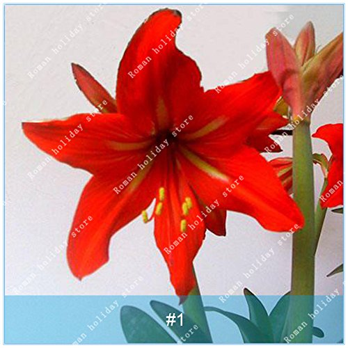 Galleria fotografica ZLKING 1 pc / pacchetto Big vero Amaryllis Bulbi interna ed esterna in vaso Fiori Piante Flower Bulb bonsai tasso di sopravvivenza è alta 1