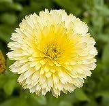 Pot Marigold Cream Semillas de belleza - Calendula offficinalis