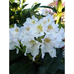 ALPENROSE rododendro cunningham's Blanco 30-40 cm alto en 5 Litros Maceta