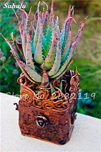 50 Pcs Aloe Vera Graines Beauté comestibles cosmétiques colorés Bonsai Cactus Succulentes Plantes Fleurs Légumes Fruits Graines Pour Balcon 15