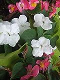 Semi di Begonia White Wax - Begonia semperflorens - 1200 semi - 1200 semi