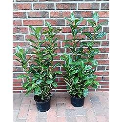 6 Kirschlorbeer Pflanzen, Höhe: 80-100 cm ab Topf, Prunus Rotundifolia