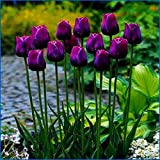 Light Yellow : 2017 Perfume Tulip Seeds Of Flowers Bonsai Plants Seed Most Beautiful And Colorful Perennial Flower Seeds For Home Garden 100Pcs