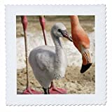 3dRose QS 88558_ 5Karibik Flamingos, tropischen Vogel,