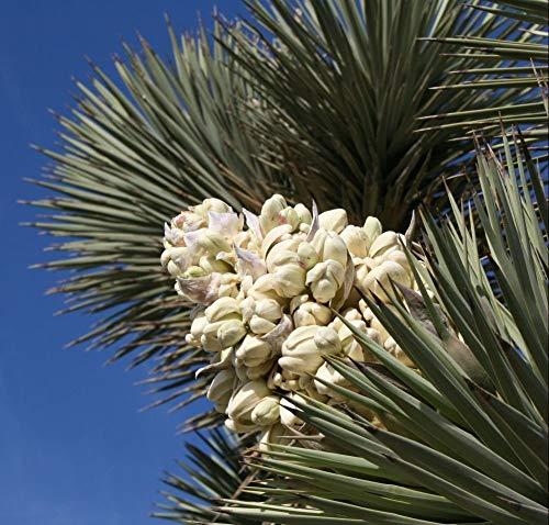 PLAT FIRM 35 Mature Johua Samen Samen, Yucca brevifolia, baccata VAR. Palm, Kalter Hardy