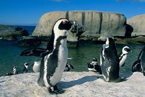 The Poster Corp Kevin Schafer/DanitaDelimont - African Penguins South Africa Photo Print (45,72 x 30,48 cm) -
