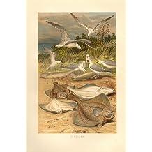 Schollen, Fische . Lithografie von 1892