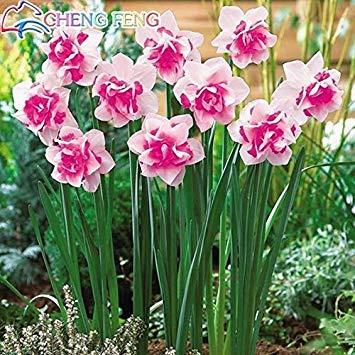 GEOPONICS Violet: best-seller! Graines de Bonsai 50pcs graines aquatiques Double Rose Jonquilles semences pour jardin 2016