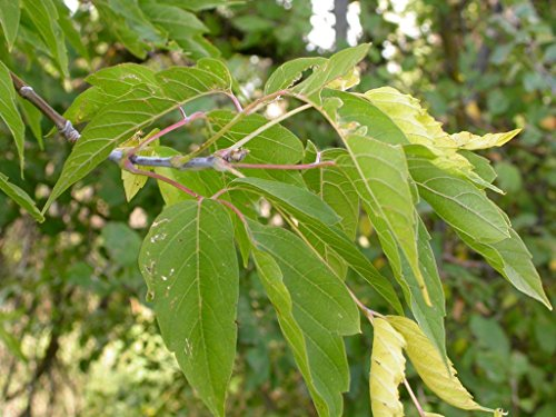 Eschen-Ahorn Acer negundo Pflanze 30cm eschenblättriger Ahorn sehr selten