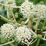 YouGarden Hardy Evergreen Fatsia Japonica Plant, 4 Litre Pot