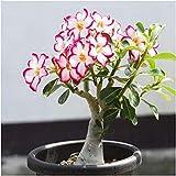 Shopmeeko Desert Rose Pflanzen Blume Pflanzen Adenium Obesum Büro Indoor Bonsai Pflanze Mini Topf Baum Hausgarten 1 Partikel/Lot: Rot
