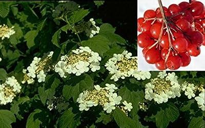 Baumschule Anding Gemeiner Schneeball - Viburnum opulus von Baumschule Anding bei Du und dein Garten