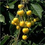 Müllers Grüner Garten Shop Kirschbaum Dönissens Gelbe Knorpelkirsche Süßkirsche Buschbaum 120-150 cm 10 Liter Topf auf GiSelA5
