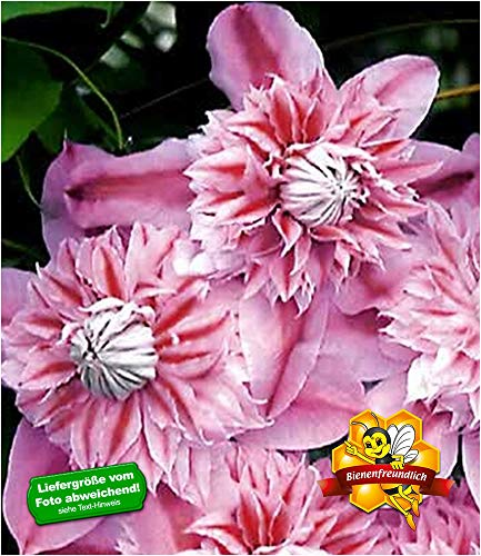 BALDUR-Garten Waldrebe Clematis 'Josephine TM Evijohill N' Waldrebe, 1 Pflanze Klematis mehrjährige...