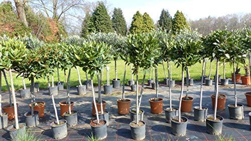 Gewürzlorbeer XL Stamm Laurus nobilis 130-150 cm, echter Lorbeer, Kräuter Kräuterküche