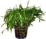Lilaeopsis novae zelandiae Neuseelandgras, Wasserpflanzen, Aquariumpflanzen