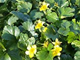 25 Stück Waldsteinia ternata * (Waldsteinie / Golderdbeere), Bodendecker Schattenpflanze * Topf 10-15 cm
