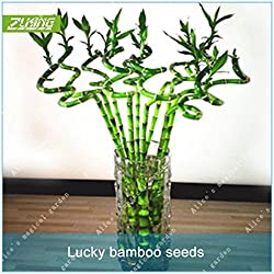 ZLKING 60pcs chino Mini suerte de bambú del árbol Bonsai Semillas fresco de la naturaleza traer buena suerte y riqueza Semillas de bambú en maceta
