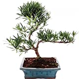Outdoor Bonsai Podocarpus - Kleinblättrige Steineibe 20cm