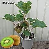 Semillas ZGTGLAD 30pcs Mini Fruit Bonsai plantas Semillas de frutas flor Delicious Seeds Bonsai vegetal envío