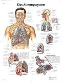 3B Scientific Lehrtafel - Das Atmungssystem