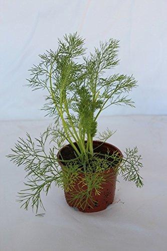 Eneldo (maceta de 10,5 cm) - Planta viva - Planta aromatica