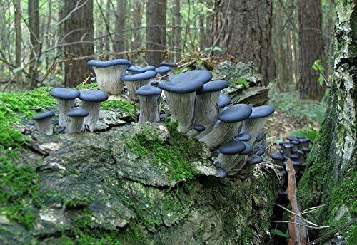 10cc azul seta de ostra (pleurotus columbinus) cultivo líquido, esporas de micelio