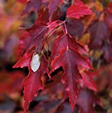 Portal Cool Feuer-Ahorn - Amur Maple, 100 High Quality Seeds
